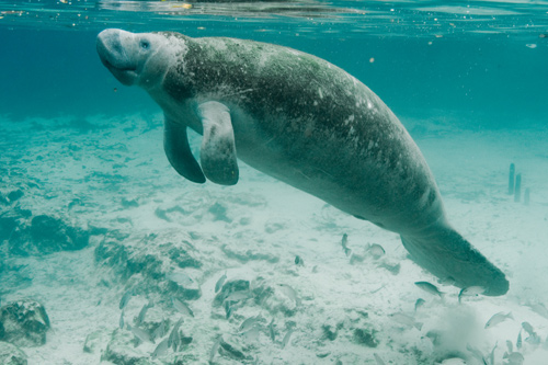 Florida Manatee by Keith Ramos- US Fish and Wildlife (public domain)