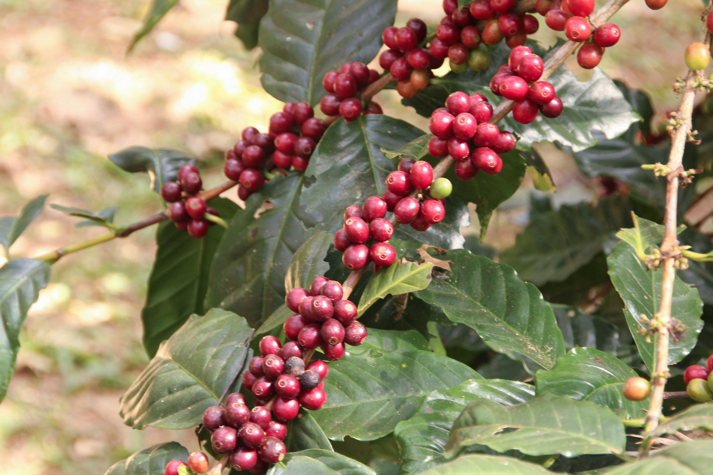 Ripe Coffee on Tree