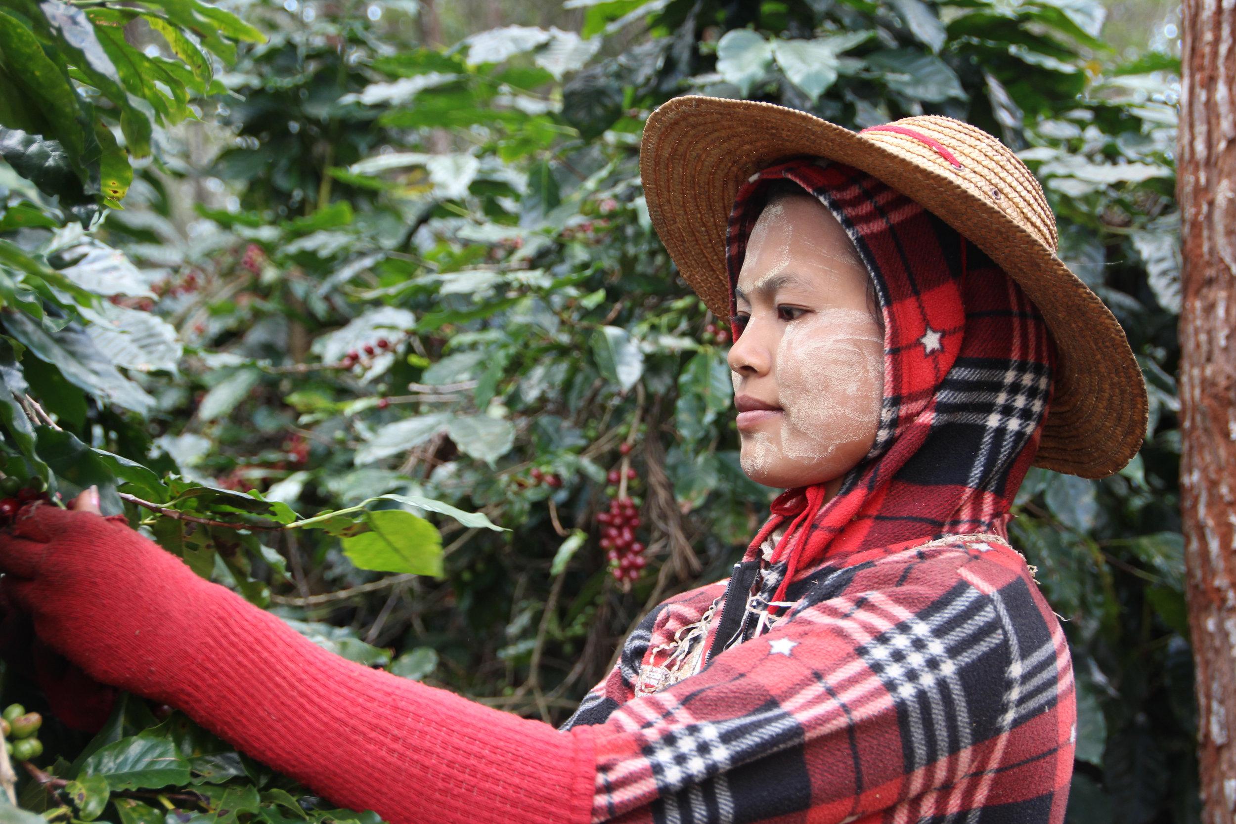 Coffee Harvester at Green Land Estate
