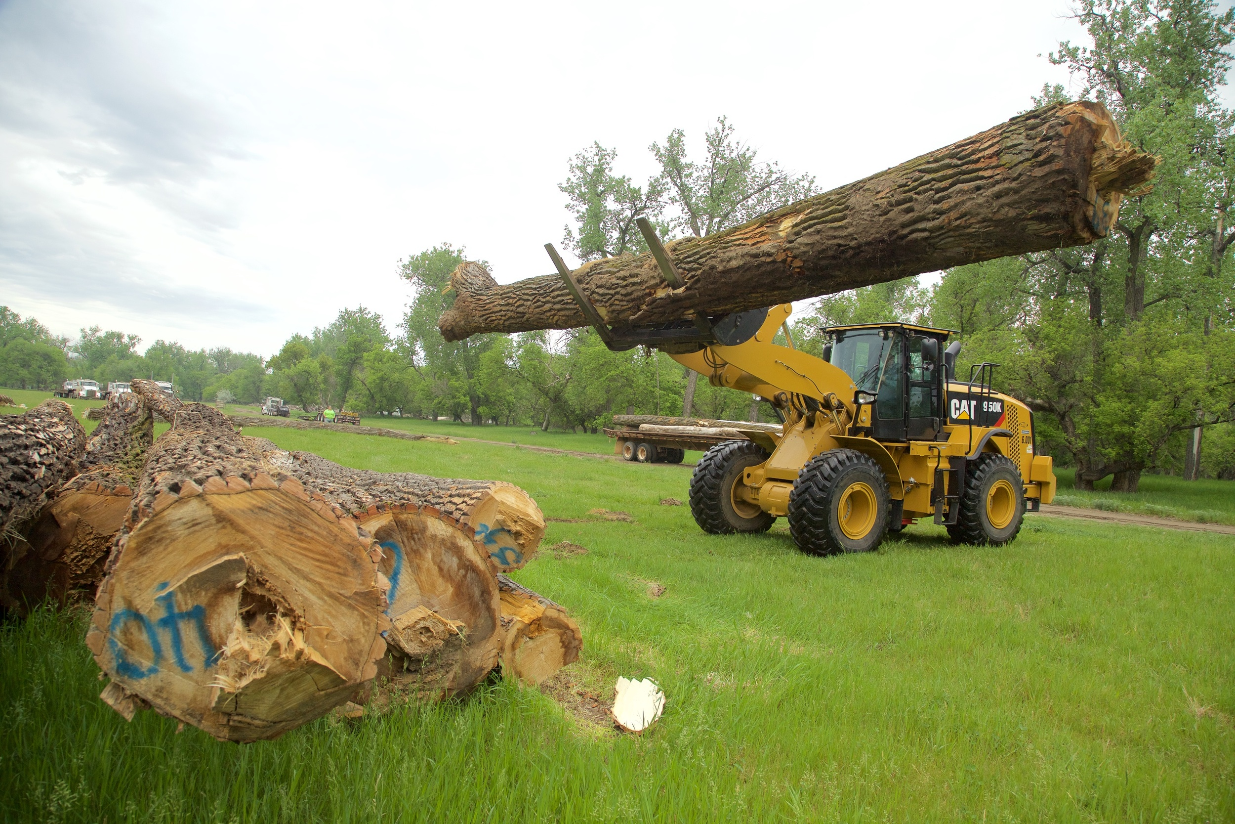 Cottonwood logs cut down near the Missouri River for transport to Dickinson