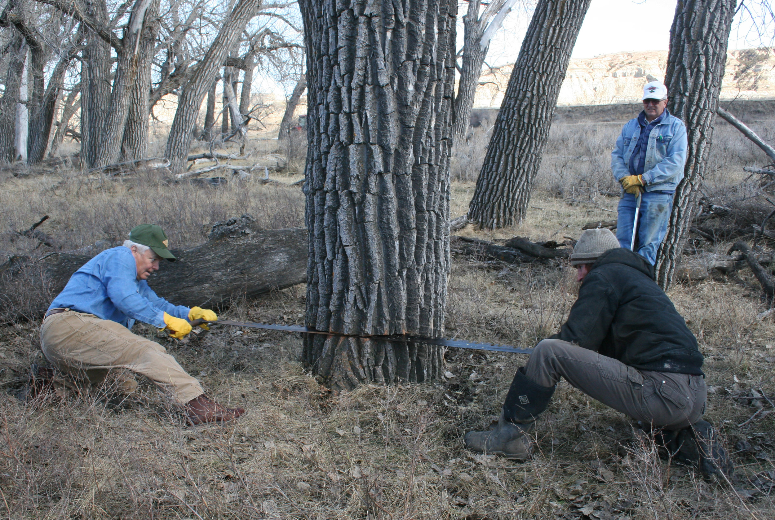 TRPLF Roosevelt Scholar Clay Jenkinson, left, and Jonathan Odermann use a cross-cut saw to cut down a cottonwood tree at the Little Missouri Cattle Ranch as Joe Frenzel looks on.