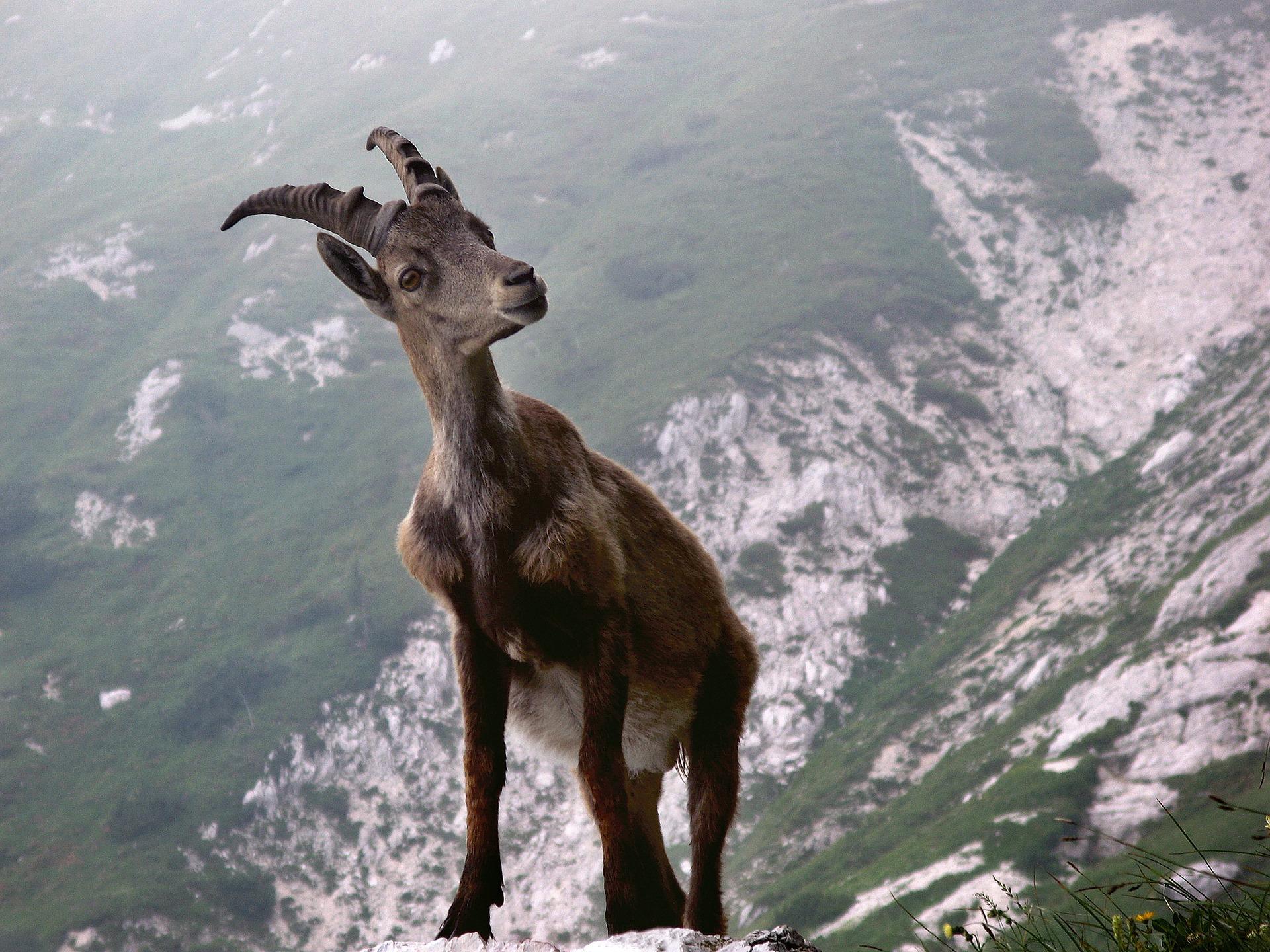 Goat c sAlesa with Pixabay.jpg