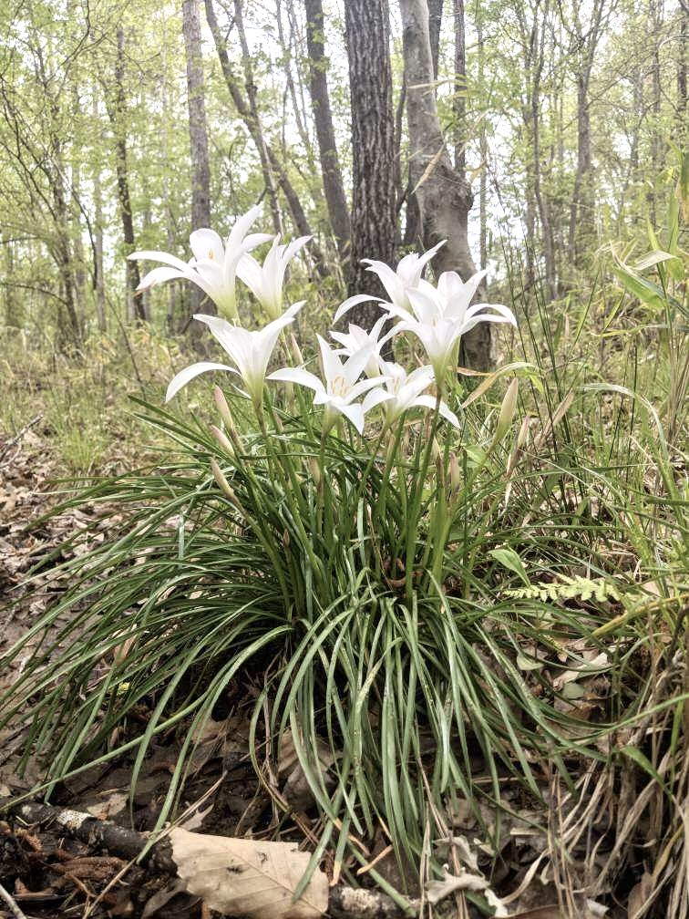Easter Lily 1.jpg