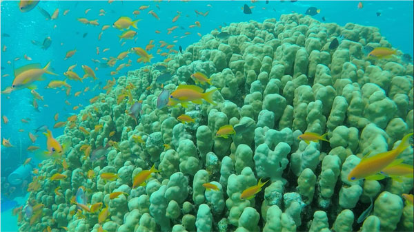 A school of anthias surround knob coral in the red sea.