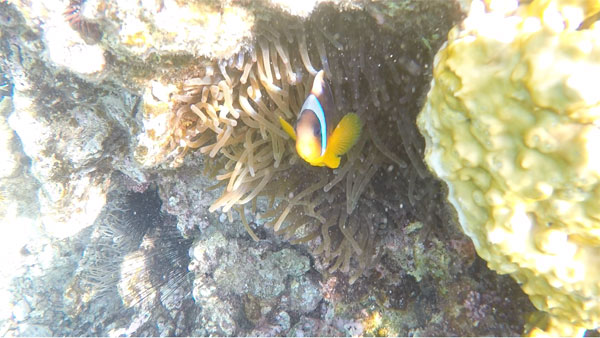 My very first clown fish sighting ever!