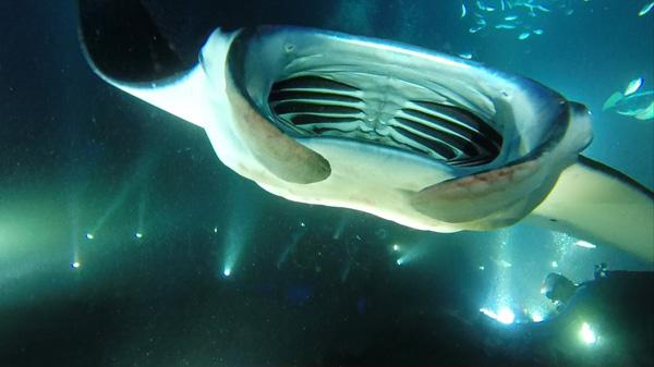 A closer look at a Manta ray on the Big Island in Hawaii