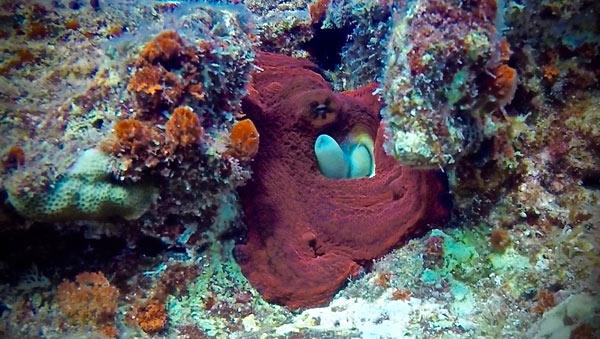 Octopus guarding it's hole.