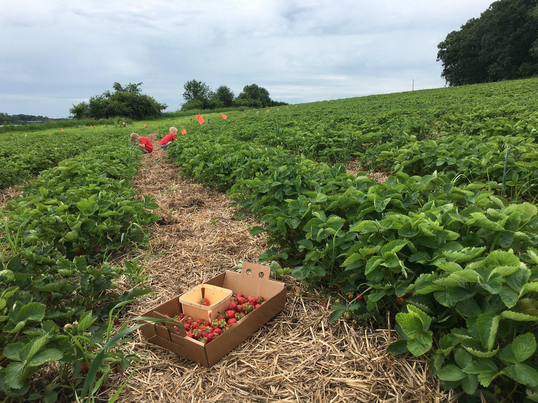 #9 | Strawberry Picking