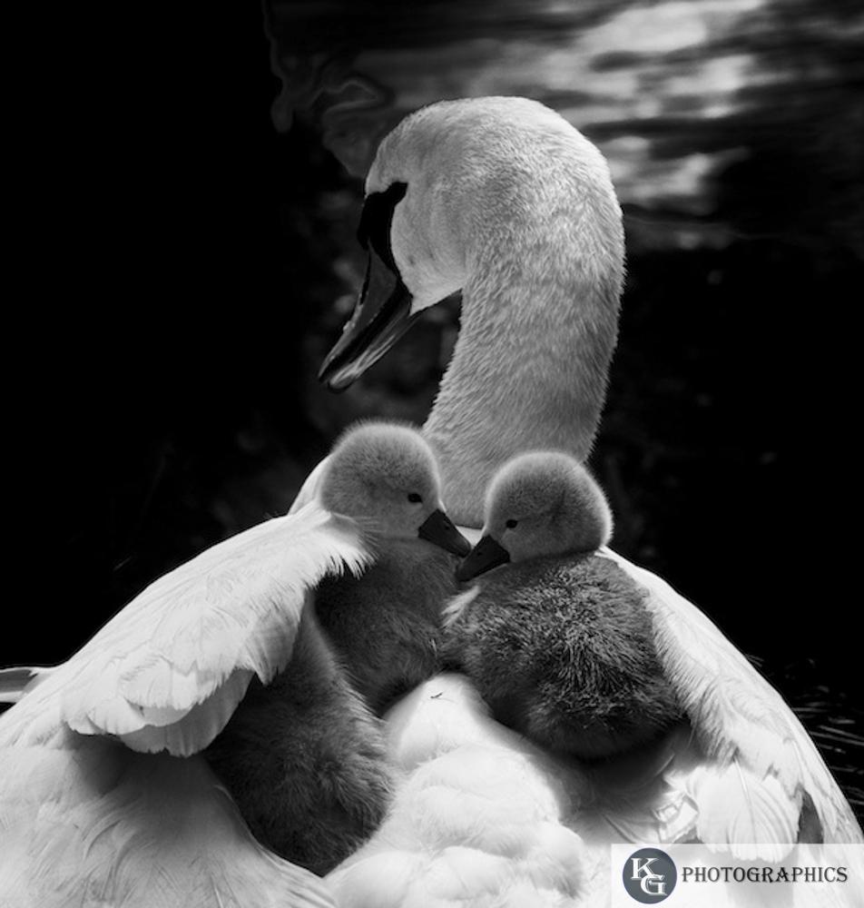 Swan-1-3.jpg