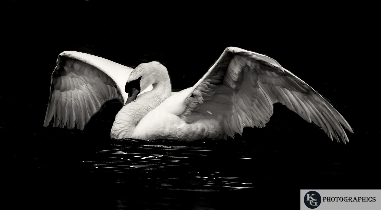 Swan-1-6.jpg