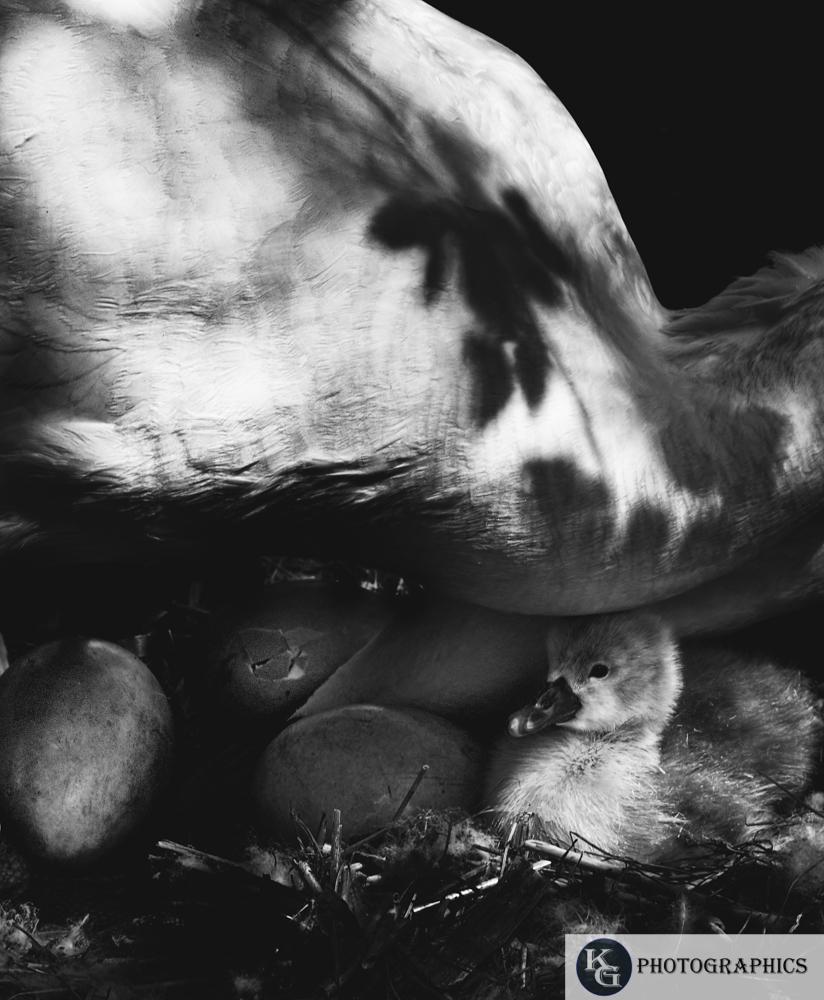 Swan-1-7.jpg