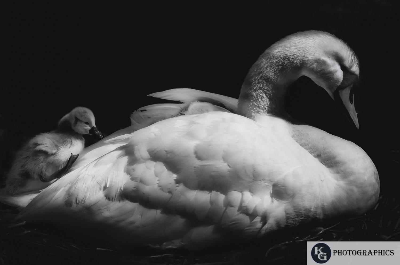 Swan-1-8.jpg