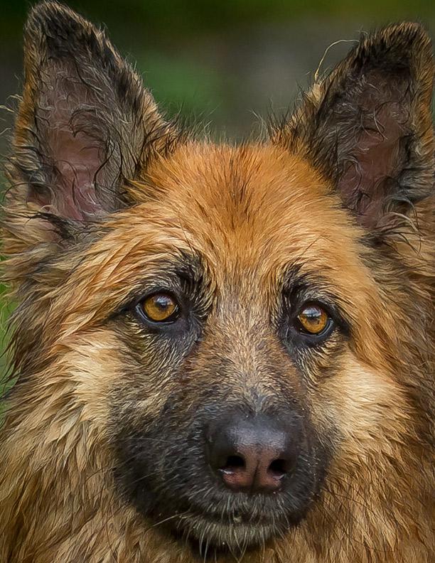 amber german shepherd