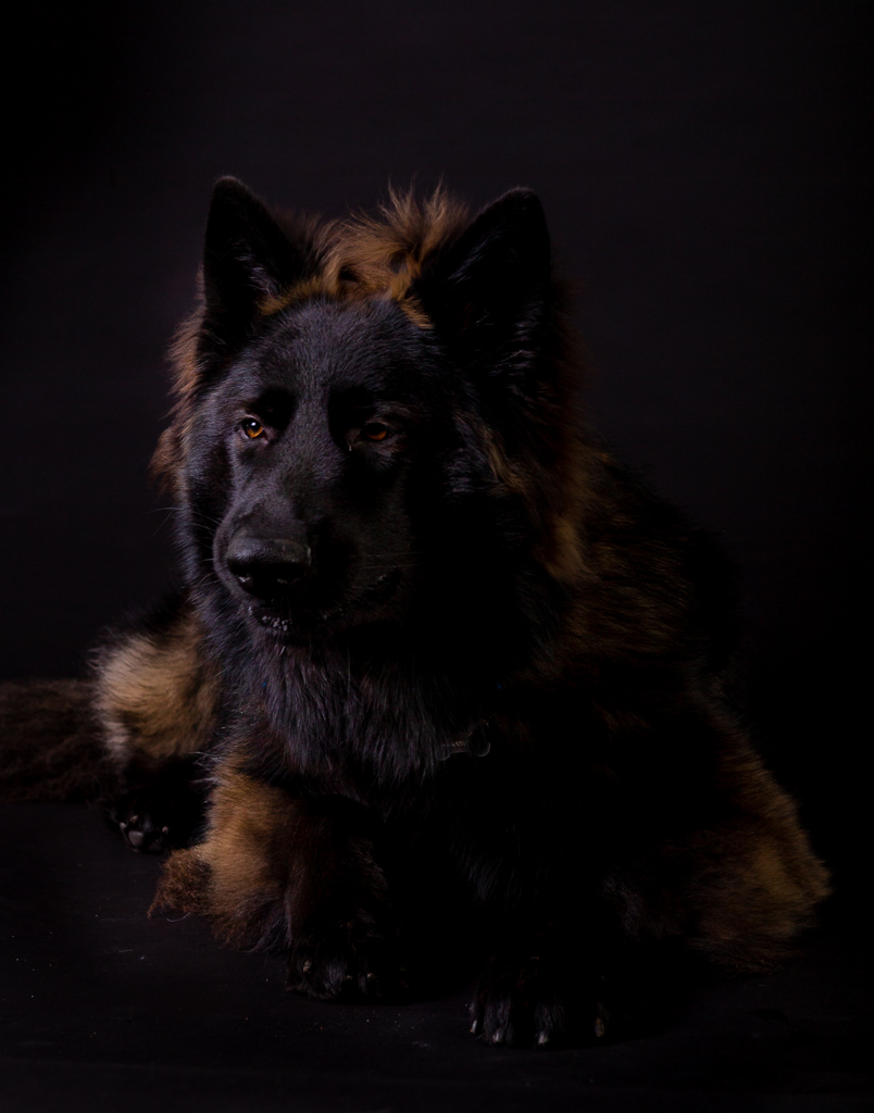 This is Max, a nine month old German shepherd. His owner was very worried that Max would be too much for us to photograph, we surprised everyone with the images we created.