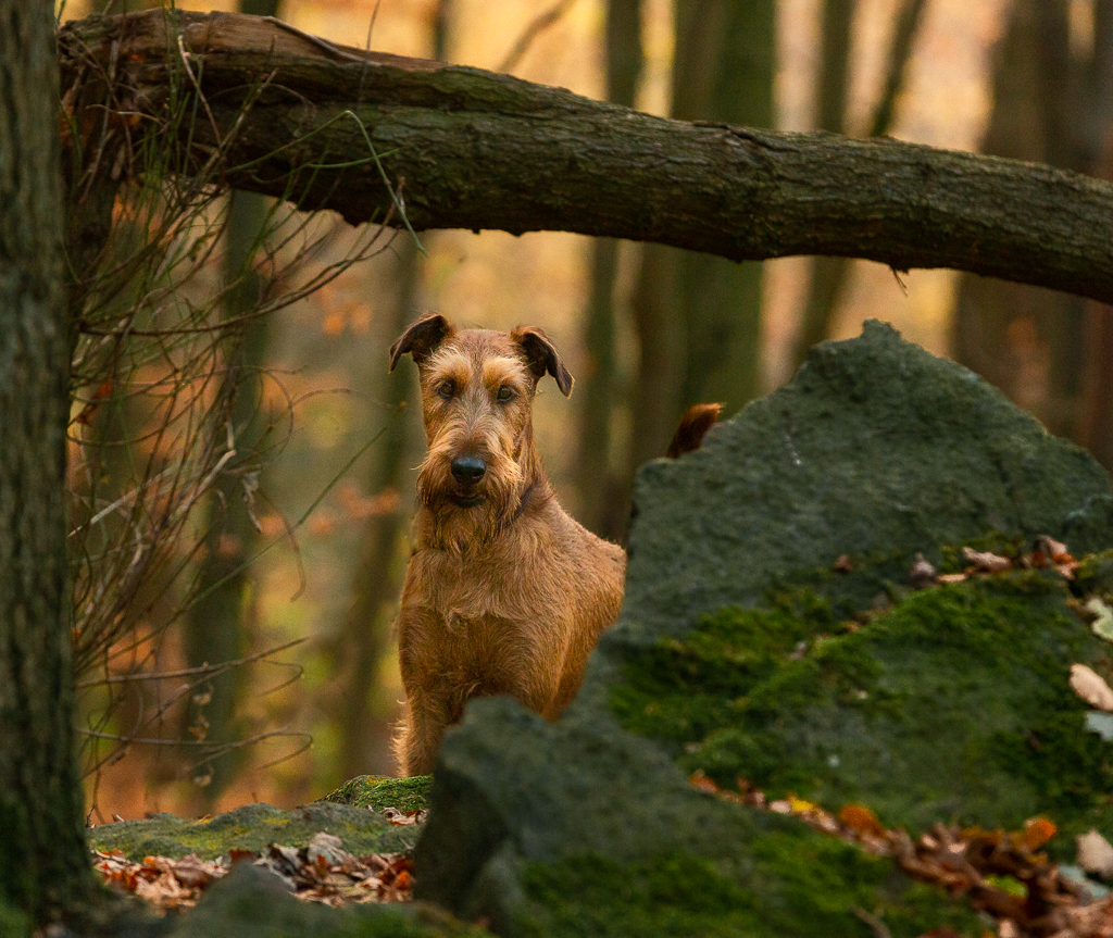 Bertie the Irish Terrier having fun in the woods.