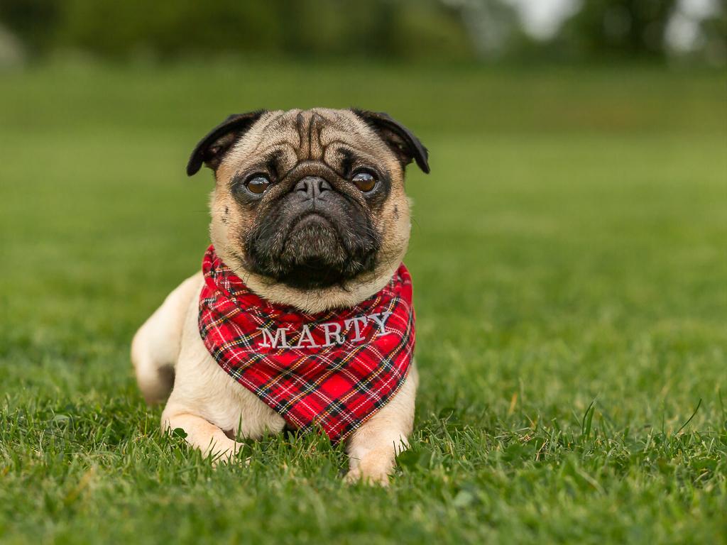 Marty the Pug-5950.jpg
