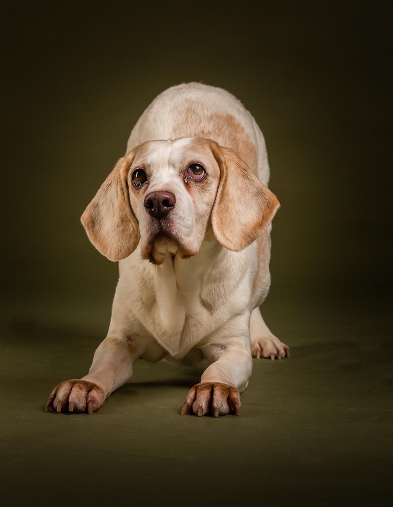 Beagle bow-9184.jpg