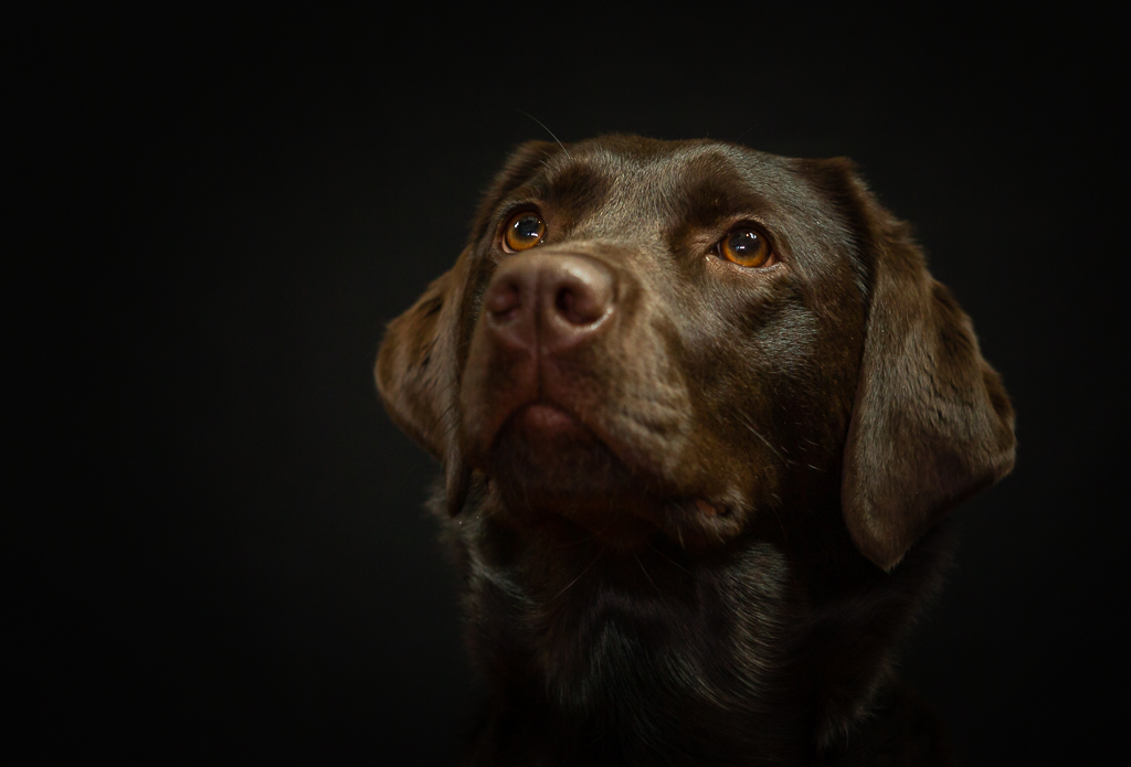 chocolate labrador in the studio-8164.jpg