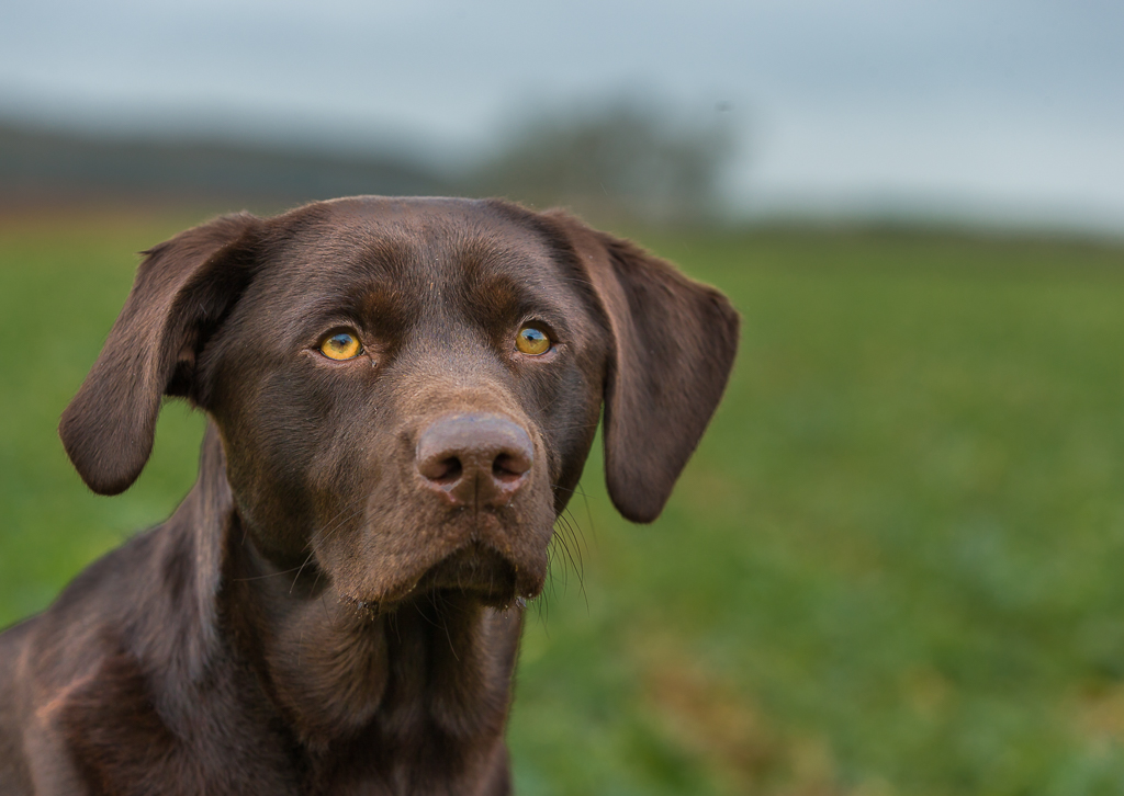 chocolate labrador in the field-6787.jpg