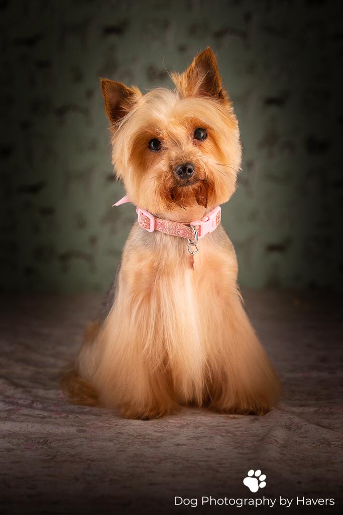 yorkshire terrier-0894.jpg