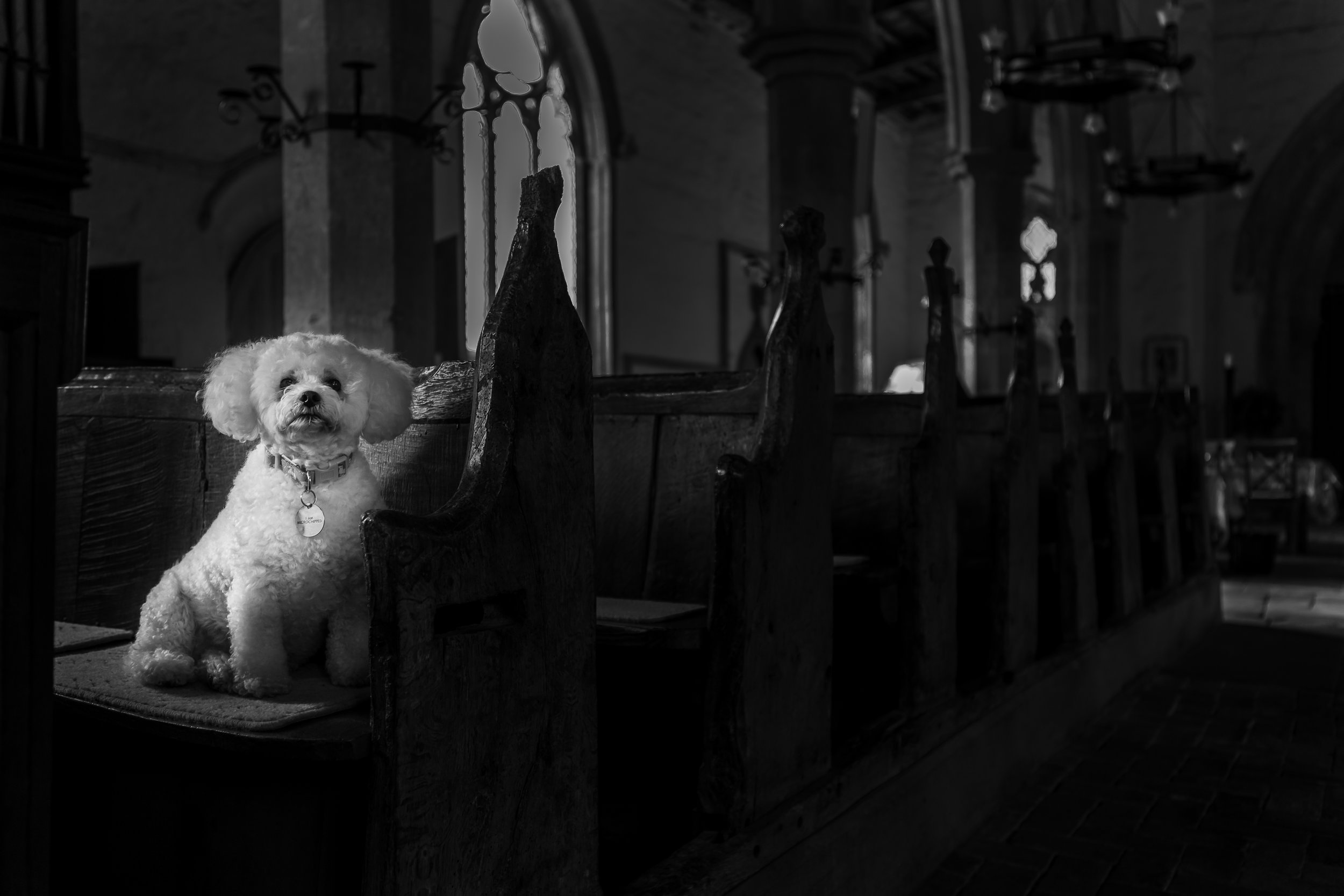 Bichon Frise in a church
