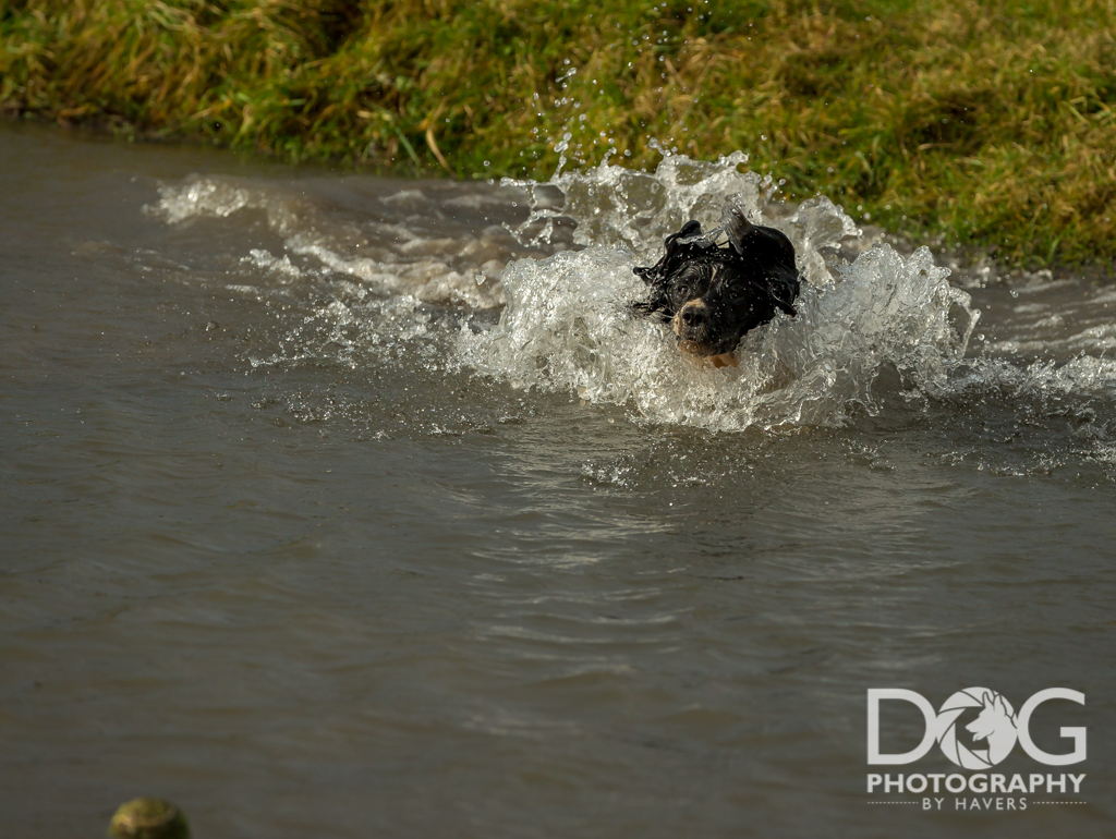 Spaniel jumping into water