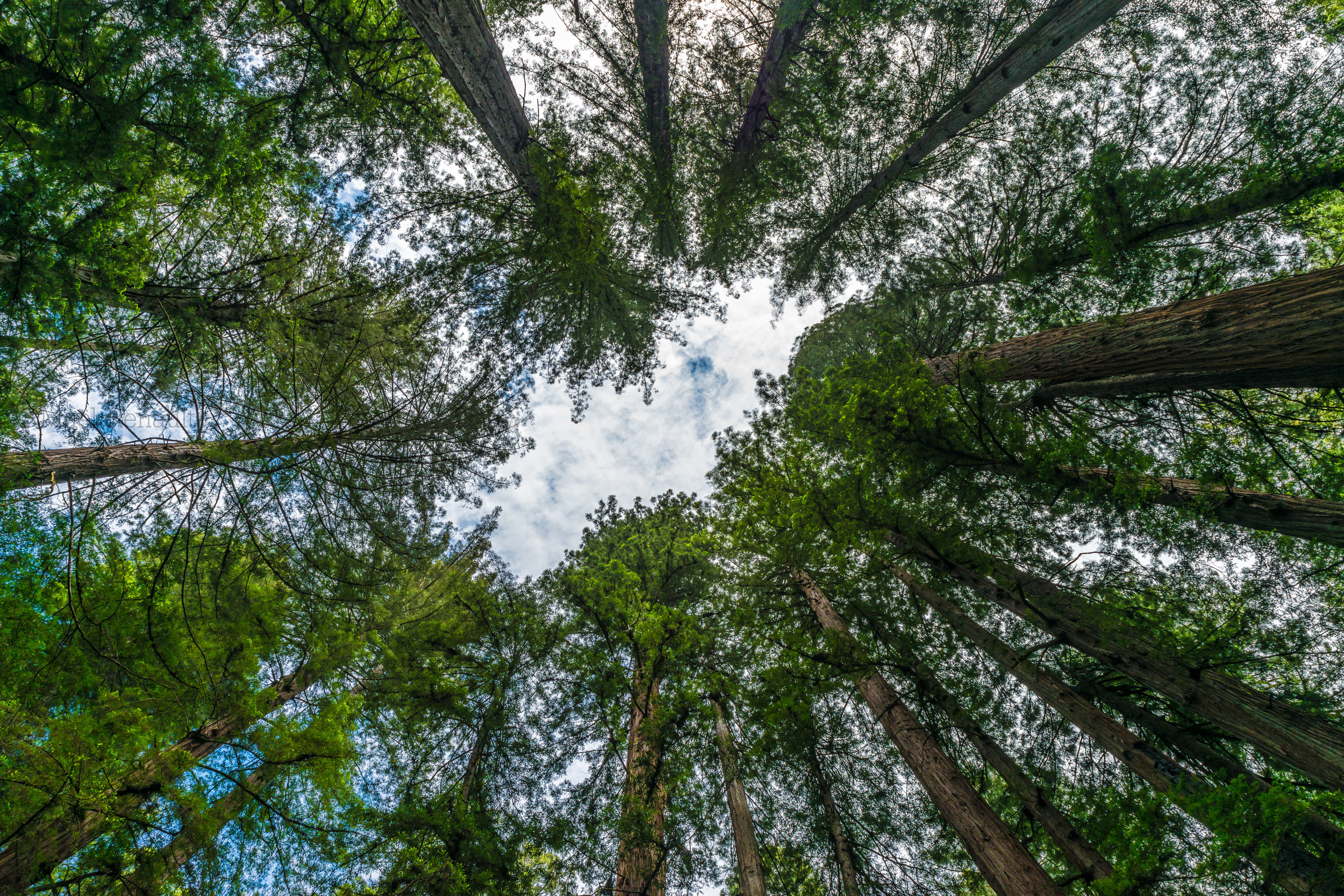 Redwood / California