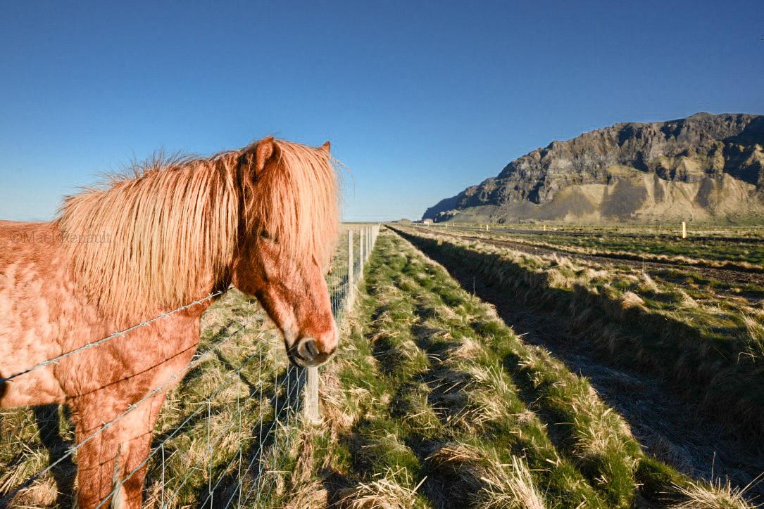 Icelandic Horse / Wildlife