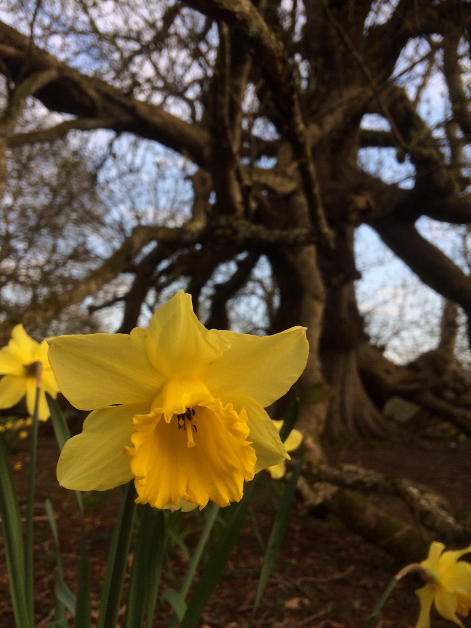 daffodill_glamis_castle_ead_2019.JPG