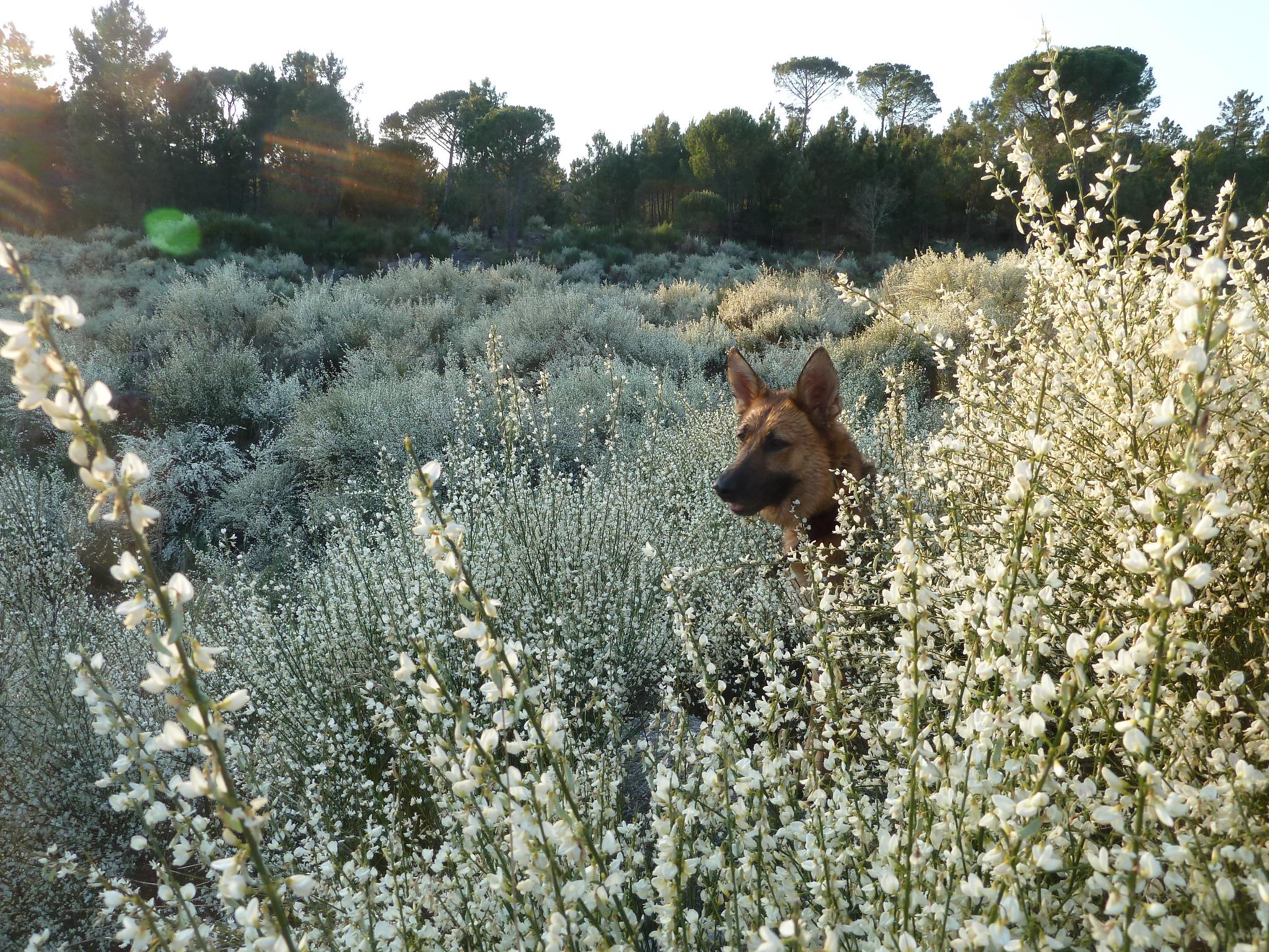 Ella popping up amongst the Broom.