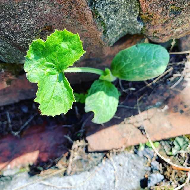 This is the either squash or cantaloupe growing out of my front steps. #gardening