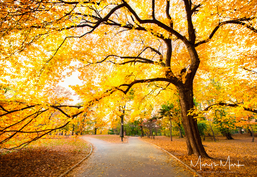 Fine Art Photograph of a tree in Central Park during Autumn by Mary Parkhill.png