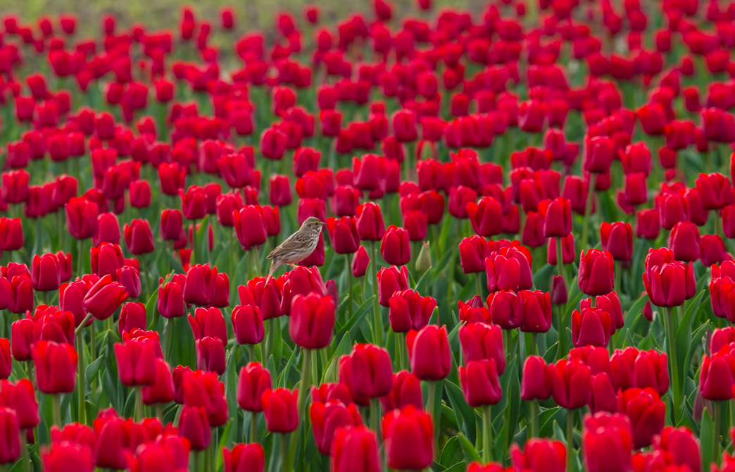 Bird on Tulips in Washington by Mary Parkhill of Mary's Mark Photography.png