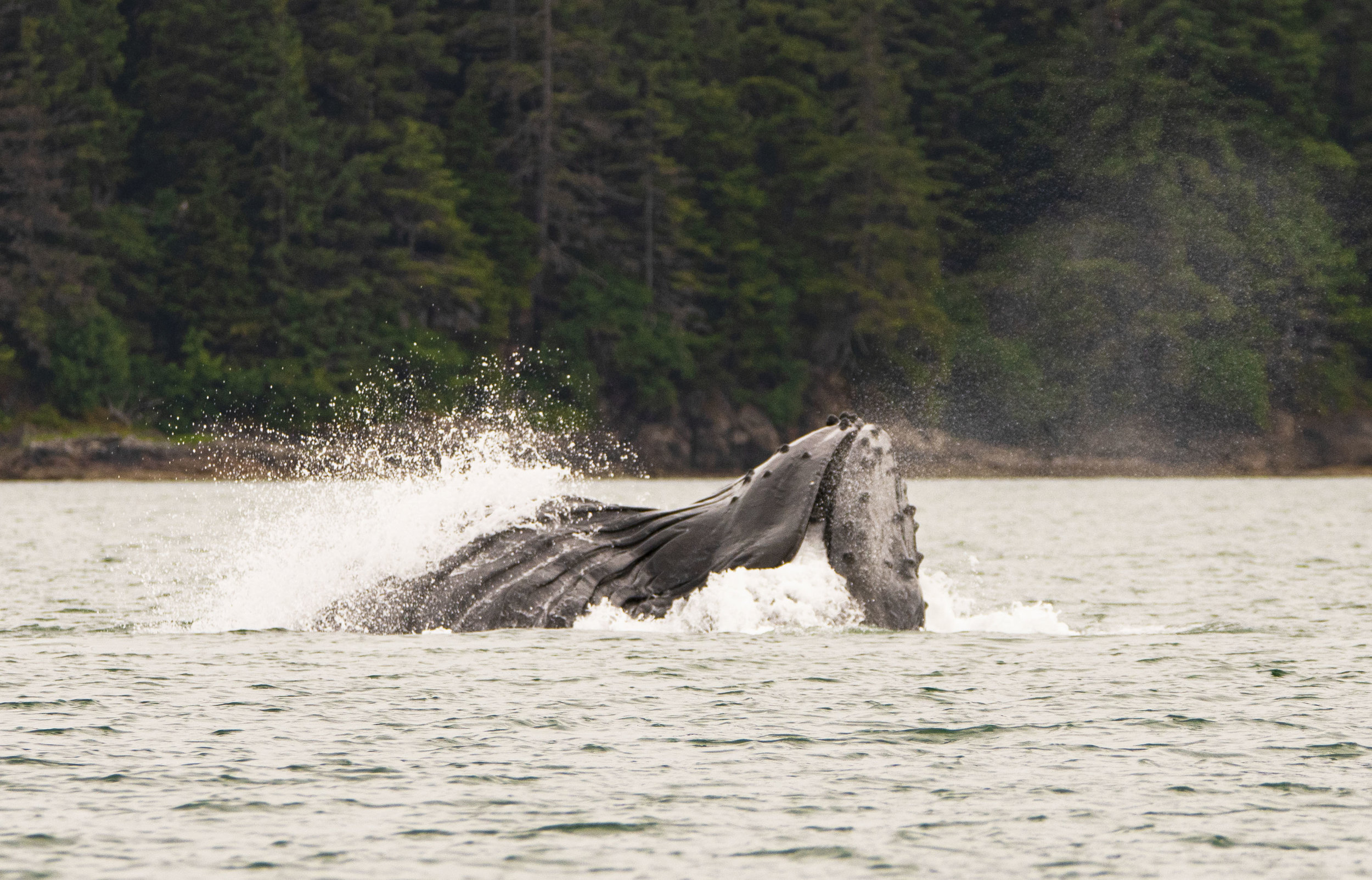 Humpback whale Alaska Mary's mark photography