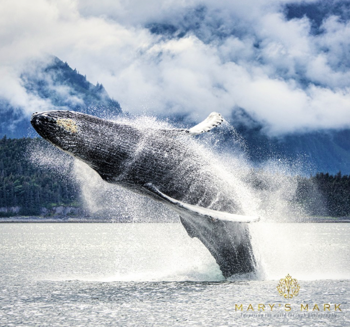 Wildlife photograph of a humpback whale breaching in Juneau, Alaska