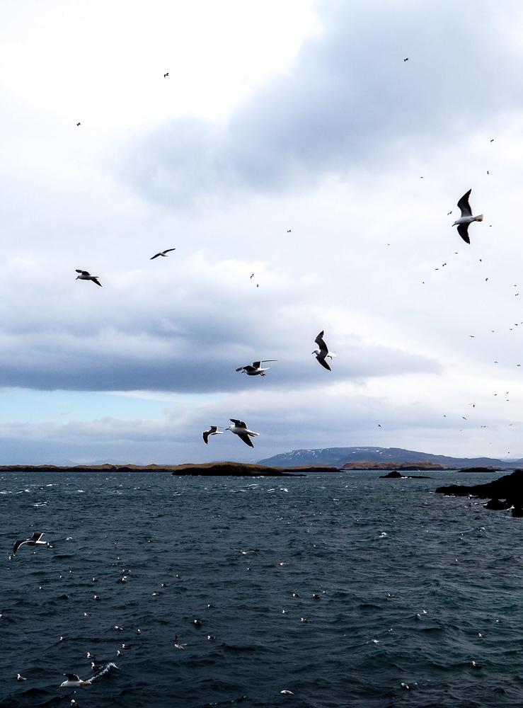 2016-iceland-seagulls-paradise05.jpg