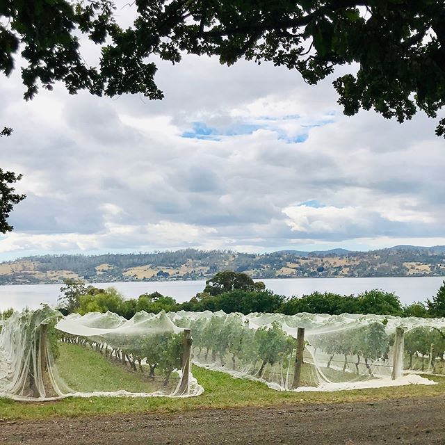 The vineyard nets are almost off which means grape picking and wine 😍🍇🍷 #tamarvalley #vineyardvines #discovertasmania #winegrapes #riverviews #weddingvenuetasmania