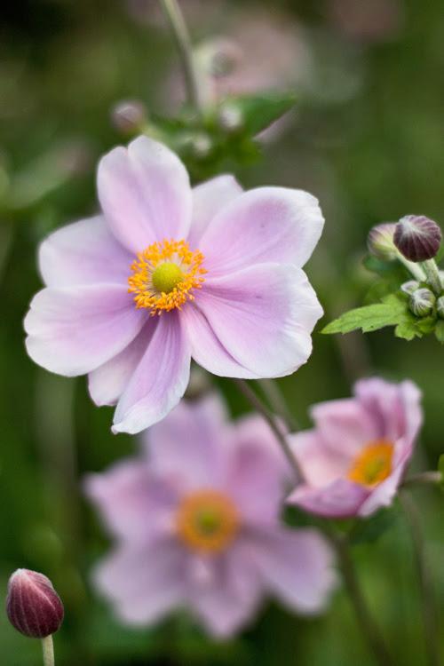 Japanese-Anemone-Flowerona-500-2.jpg