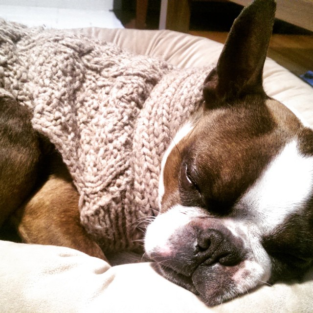 Sleepy Boston Terrier Mojo