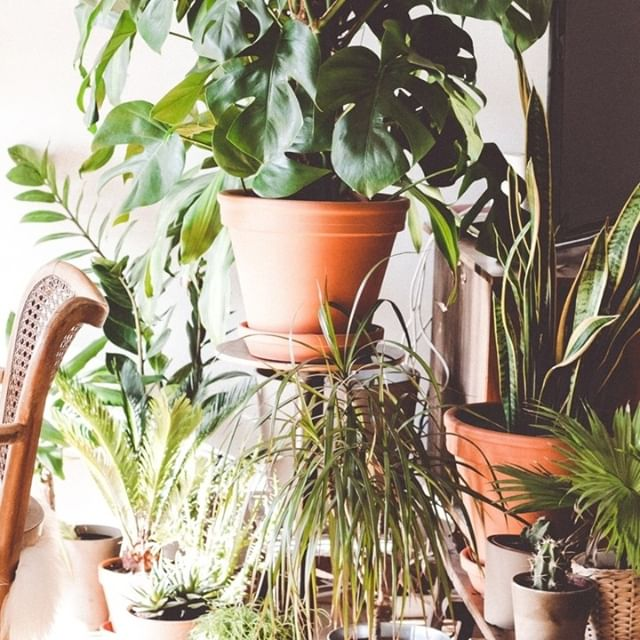 My latest obsession.  Indoor Plants.  I just want to get ALL the different types of plants, group them together in lovely little corners and love on them. ⠀⠀⠀⠀⠀⠀⠀⠀⠀ ⠀⠀⠀⠀⠀⠀⠀⠀⠀ I don't know if it is because of the current weather, or if its because plants symbolise growth but can safely say that I am a  self proclaimed #plantlady #itsprobablyaphase #hopeidontkillthem ⠀⠀⠀⠀⠀⠀⠀⠀⠀ ⠀⠀⠀⠀⠀⠀⠀⠀⠀ #fempreneur #femaleentrepreneurs #canva #branddesign #canvatips #branddevelopment #brandlogo #brandingidentity #brandingtips #ladyboss #ebooks #supportsmallbusiness #smallbusinessowner #savvybusinessowner #branddesigner #curatedfeed #canvadesigner #canvatemplates #femininebranding #bosslady #bossmom #etsy #etsysellersofinstagram #etsyaustralia
