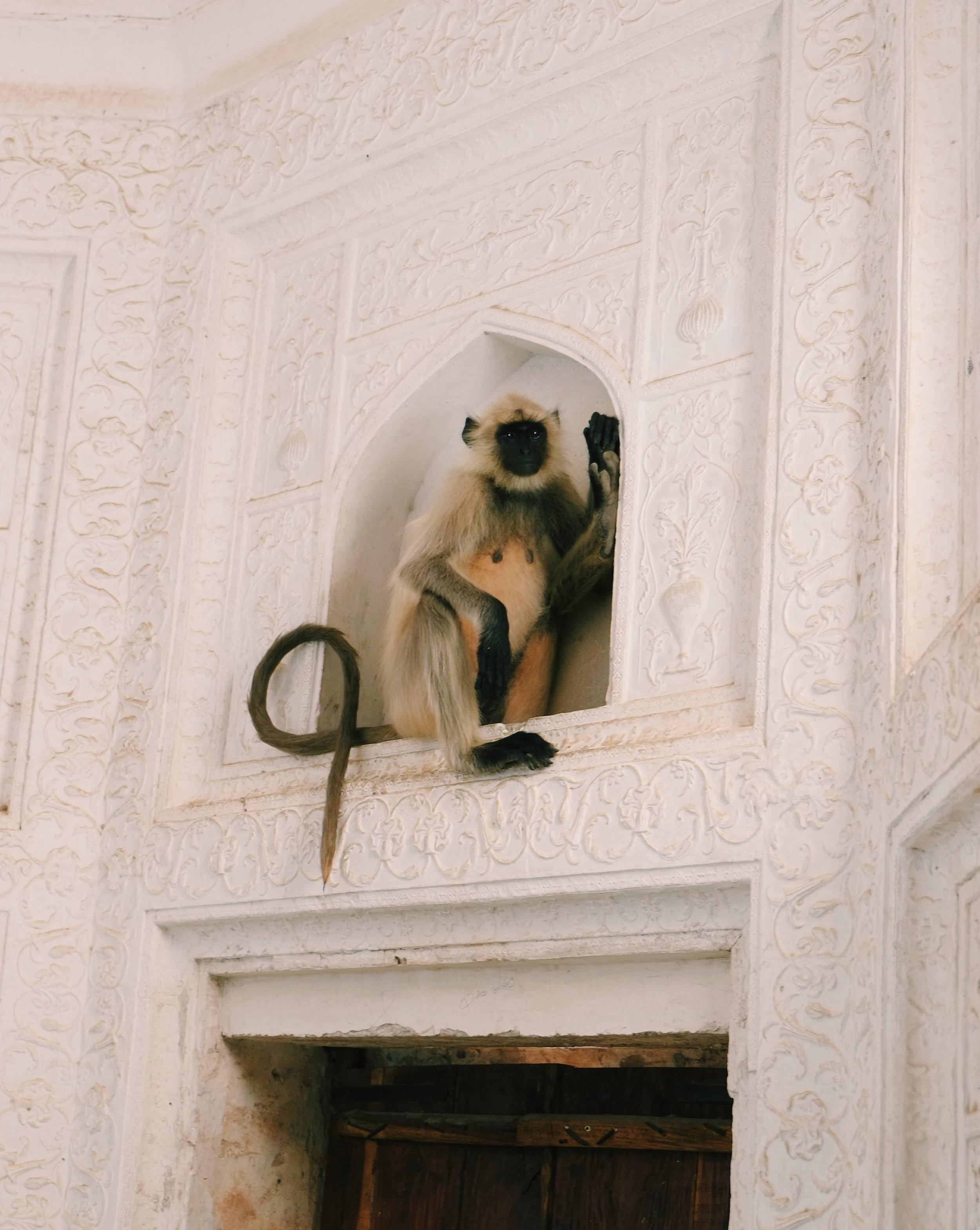 Monkey Ajmer Amber Palace India Joost Bastmeijer.jpeg