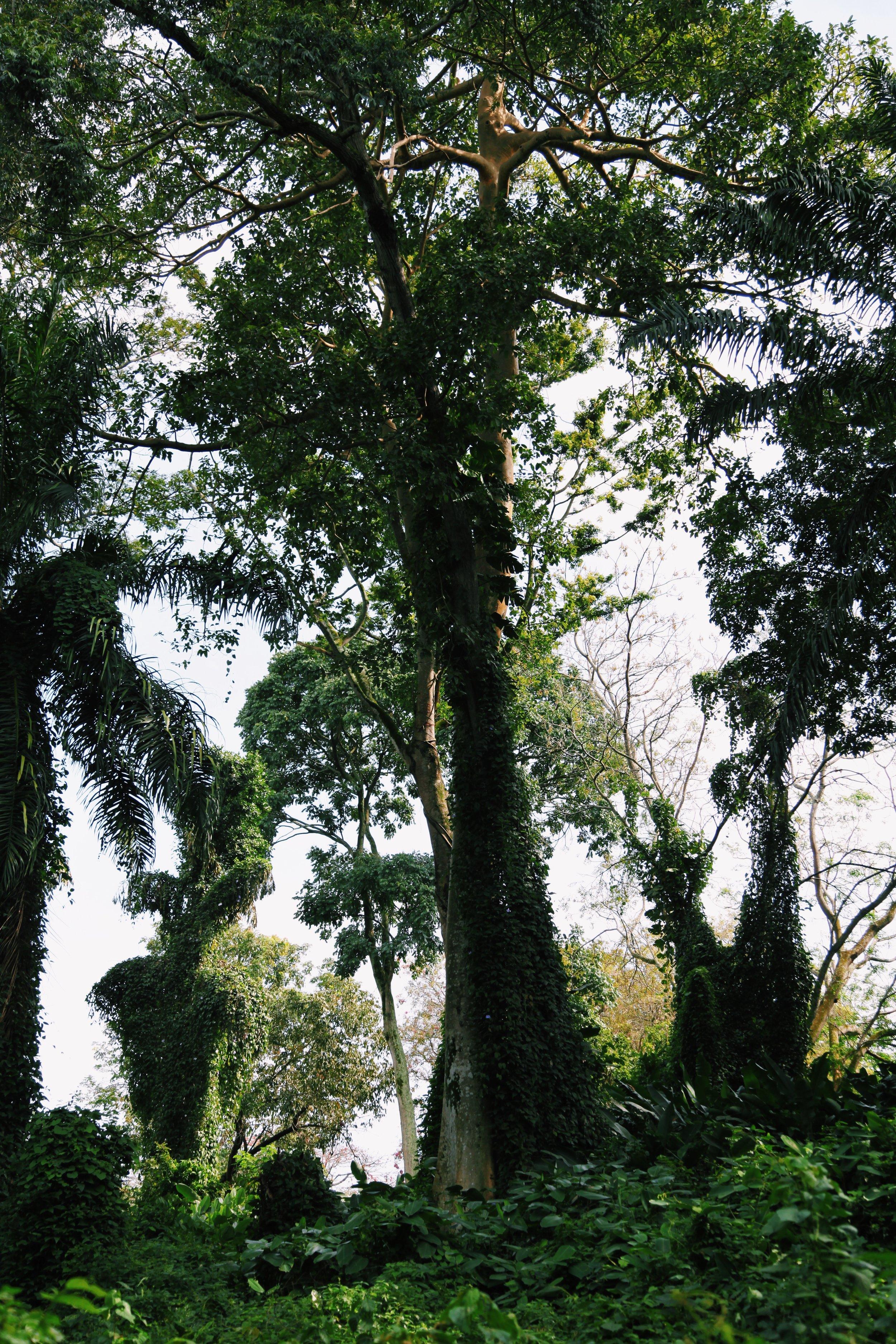 A tree in Entebbe botanical garden  by Joost Bastmeijer.JPG