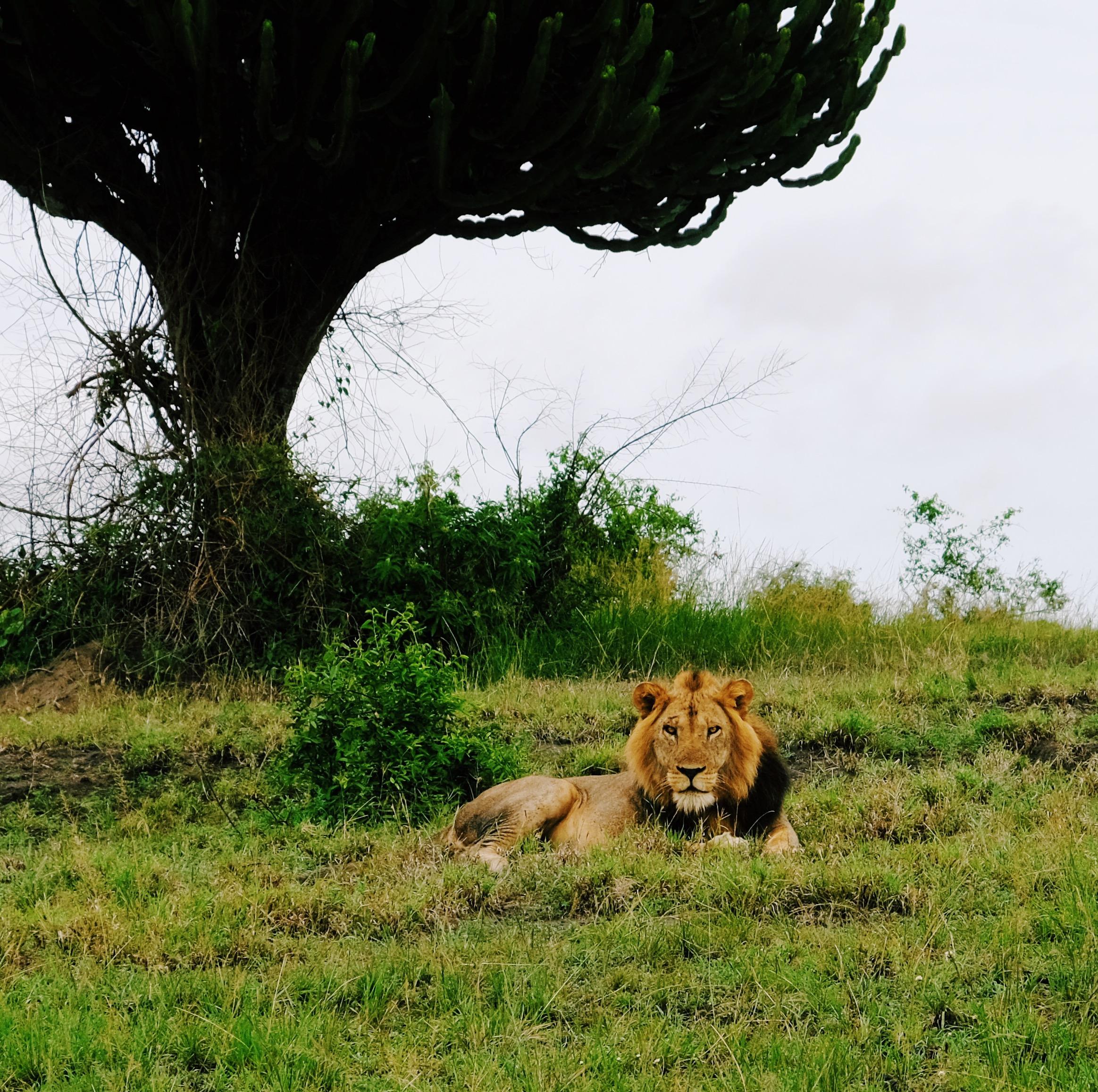 A lion in QENP  by Joost Bastmeijer.JPG