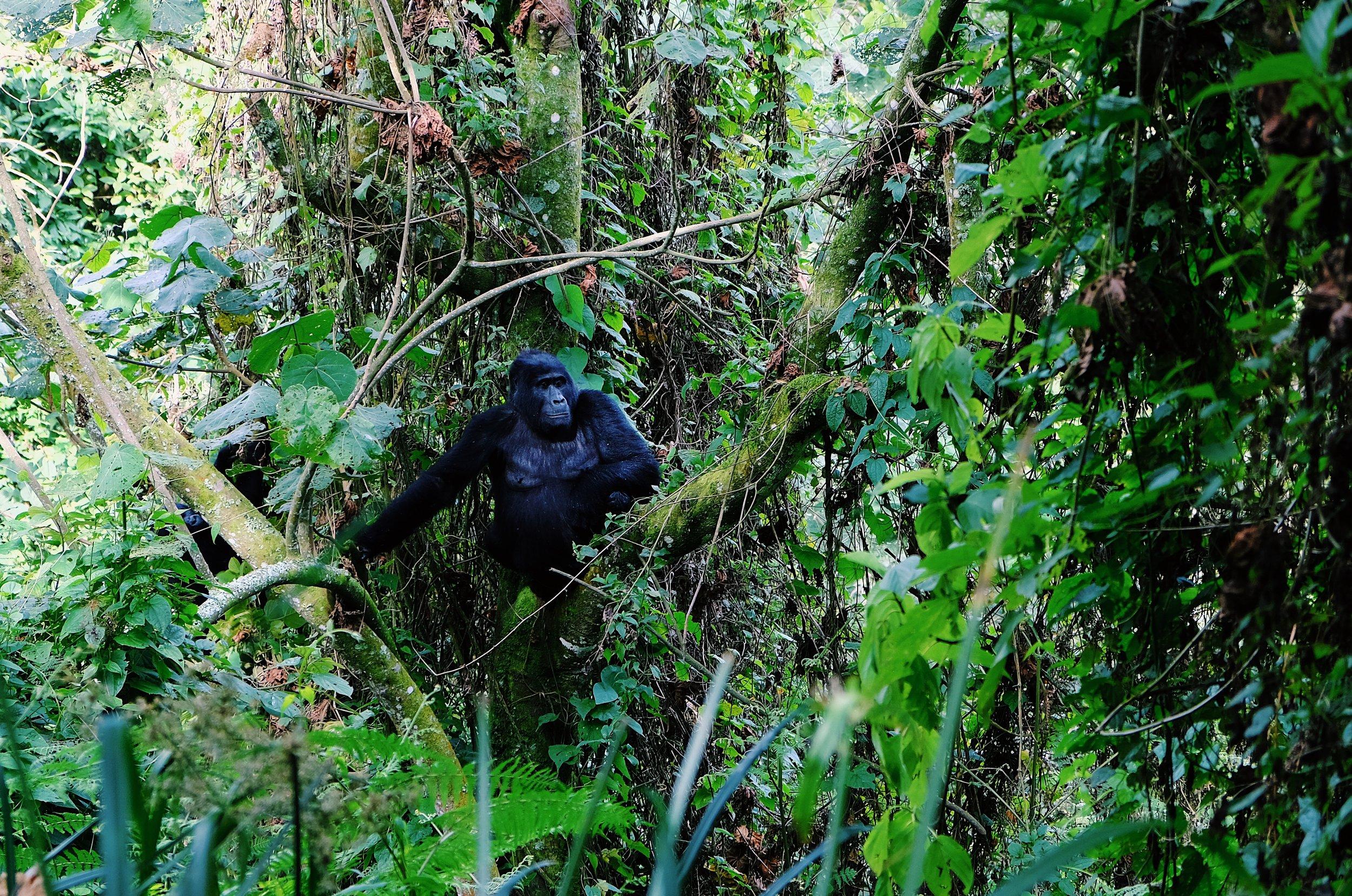 Mountain gorilla up in the tree by Joost Bastmeijer.JPG