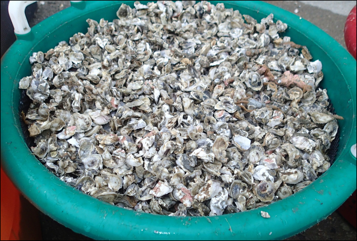 Basket of seed oysters.png