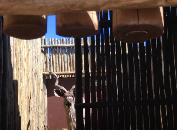 A Kudu ready for auction. Afterwards, he will be moved to another Game Reserve looking for fresh blood for their herd.