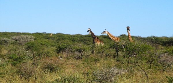 When we first sighted this herd of giraffe we counted over a dozen heads poking up from the trees. Once we got up close the little ones brought the count up to twenty!
