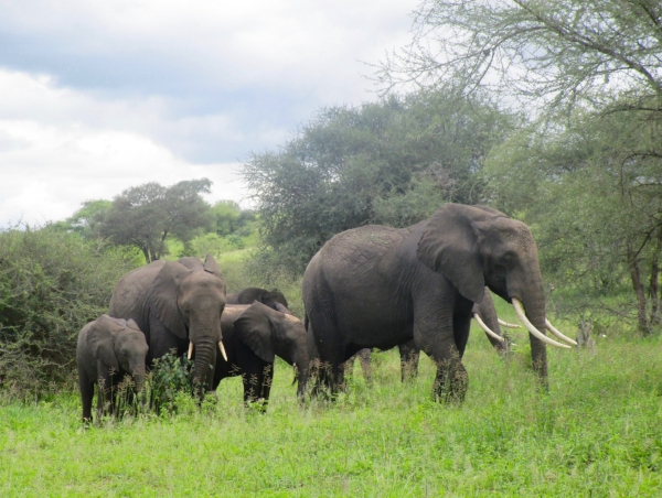 A happy elephant family on their way to greener pastures in the Tarangire Park.