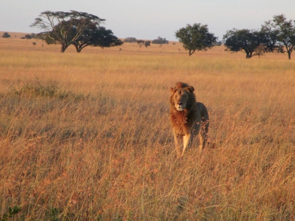 It was early for us, too. This big ol' lion gave a big yawn just after this shot.