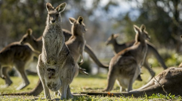 Apparently, kangaroos were having parties all over Canberra. I just wasn't invited.